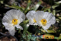 Argemone polyanthemos (White Prickly Poppy)