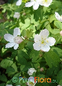 Isopyrum biternatum (Eastern False Rue Anemone)