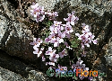 Arabis purpurea (Cyprus Rose-flowered Rockcress)