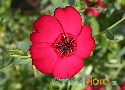 Linum grandiflorum (Red Flax)