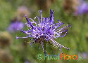 Phyteuma orbiculare (Roundheaded Rampion)