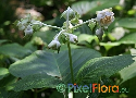 Deinanthe bifida (White False Hortensia)