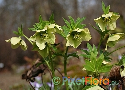 Helleborus dumetorum ssp. dumetorum (Asian Hellebore)