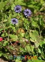 Globularia punctata (Common Globe Flower)