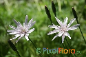 Scorzonera purpurea (Rose-Flowered Salsify)