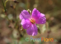 Calandrinia grandiflora (Large-Flowered Purslane)