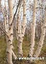 Betula aetnensis (Mount Etna Birch) Exclusive