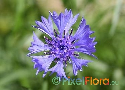 Centaurea cyanus (Common Blue Cornflower)