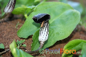 Arisarum simorrhinum (Canary Friar's Cowl)