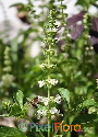 Ocimum tenuiflorum 'Kha-Prao' (Green Joy)