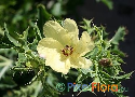 Argemone subfusiformis (Chilean Prickly Poppy)