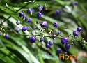 Dianella nigra (New Zealand Ink Berry)