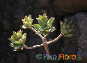 Aeonium decorum var. granreyense var. nov. ined. Exclusive
