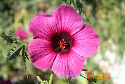 Hibiscus radiatus (October Rosemallow)