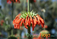 Leonotis nepetifolia (Catmint-leafed Lion's Tail)