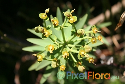 Euphorbia anachoreta (Selvagens Spurge) Exclusive