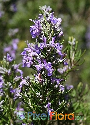 Salvia rosmarinus ssp. rosmarinus (Common Rosemary)