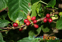 Coffea arabica (Arabica Coffee)