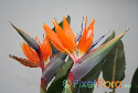 Strelitzia reginae (Bird-of-Paradise)
