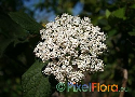 Viburnum rigidum (Canary Snowball) Exclusive