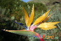 Strelitzia reginae 'Mandela's Gold' (Yellow Bird-of-Paradise)