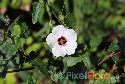 Pavonia hastata (Spearleaf Swampmallow)