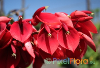 Erythrina crista-galli (Cockspur Coral Tree)