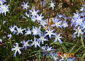 Chionodoxa luciliae (Glory-of-the-Snow)