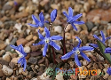 Chionodoxa sardensis (Sardinian Glory-of-the-Snow)