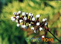 Actaea pachypoda (North American White Baneberry)