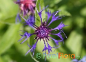 Centaurea montana (Mountain Corn Flower)