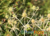 Eryngium campestre (Field Sea Holly)