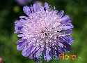 Knautia arvensis (Field Pincushion Flower)