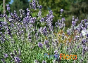 Lavandula angustifolia (Common Lavender)