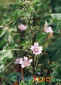 Malva multiflora (Cornish Mallow)