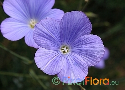 Linum narbonense (French Blue Flax)