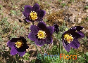 Pulsatilla montana (Mountain Pasque Flower)
