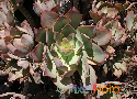 Aeonium calderense sp. nov. ined. Exclusive