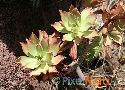 Aeonium decorum var. guarimiarense var. nov. ined. Exclusive