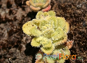 Aichryson villosum (subalpine form) Exclusive
