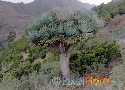 Dracaena draco (Tenerife Dragon Tree)
