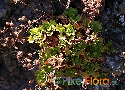 Saxifraga maderensis ssp. pickeringii Exclusive