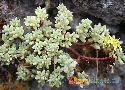 Sedum nudum Exclusive