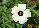 Hibiscus trionum (Flower-of-an-hour Hibiscus)