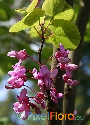 Cercis occidentalis (Western Redbud)