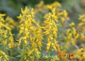 Genista germanica (German Broom)