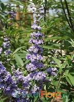 Vitex agnus-castus (Monk's Pepper)