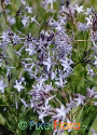 Amsonia ciliata (Texas Blue Star)