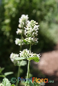 Nepeta cataria (White-flowered Catmint)