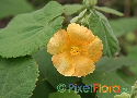Abutilon grandifolium (Large-leafed Indian Mallow)